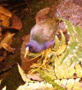A Purple gallinule (Porphyrula martinic),