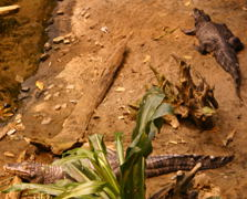 Two Yacare caimans (Caiman sclerops yacare).