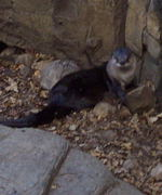 One of a pair of playful River Otters (Lutra canadensis).  They  seemed to be having a great time playing.