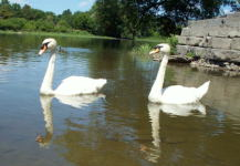 Two swans I spotted on the Rideau river along the Eastern bike path, June 2002.
