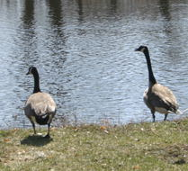 Canada Geese, doing the geese thing.