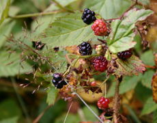 Blackberries!  Yum!