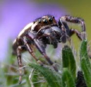 An jumping spider  (Thanks Lynette) giving me a close look.