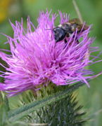 Probably spear thistle (<I>Cirsium vulgare</I>) with a  flower fly <I>syrphidae</I> of some sort on it.