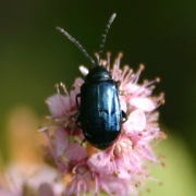 A (currently) unidentified blue beetle on Fireweek(<I>epiobium  angustifolium L.</I>), a member of the evening-primrose  family.