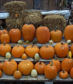 Pretty pumpkins of all sizes!