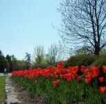 Tulips near Landsdown Park along the Rideau canal.