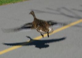 A female duck (probably <I>Anas platyrhynchos</I>).