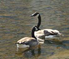 A pair of Canada Geese (<I>Branta canadensis maxima</I>,  most likely - there are several sub-species)