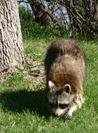 This common raccoon (<I>Procyon lotor</I>) just walked right  up to us - completely unafraid of us.