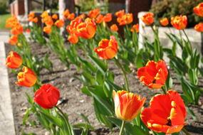 Tulips on Charolotte.