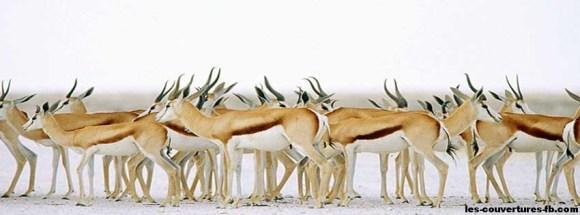 Troupeau d'antilopes - couverture Facebook