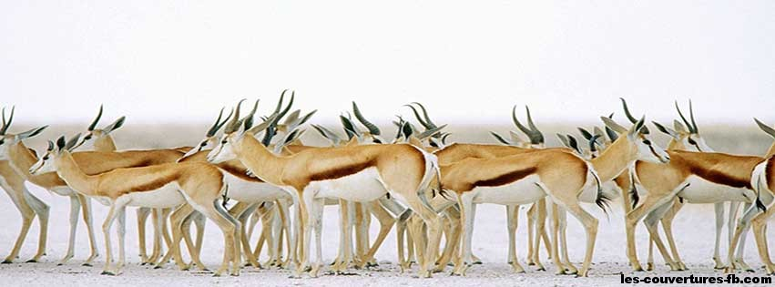 Troupeau d'antilopes - couverture Facebook