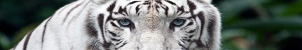 Tigre Blanc - Photo de couverture journal Facebook