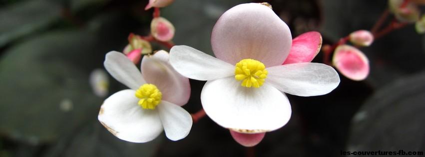 fleur blanches-photo de couverture-journal facebook