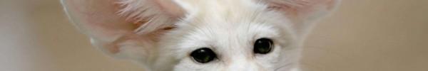 Fennec blanc-Photo de couverture journal Facebook