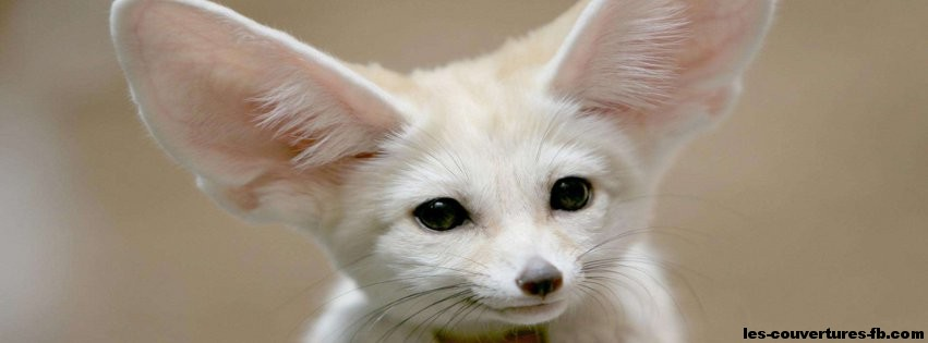 Fennec blanc-Photo de couverture journal Facebook