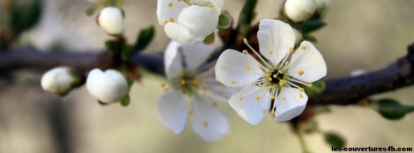 Fleur de cerisier-Photo de couverture journal Facebook