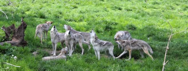 Hurlement des loups