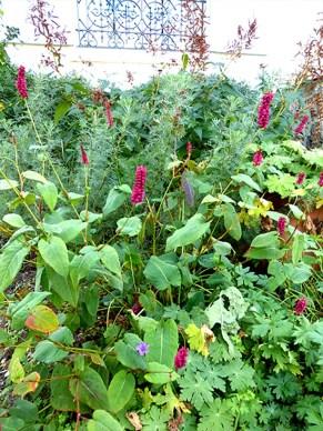 plantes-vivaces-renouees-jardiniers-paysagiste-maisonslaffitte-jardiniers-a-velo-parisbd