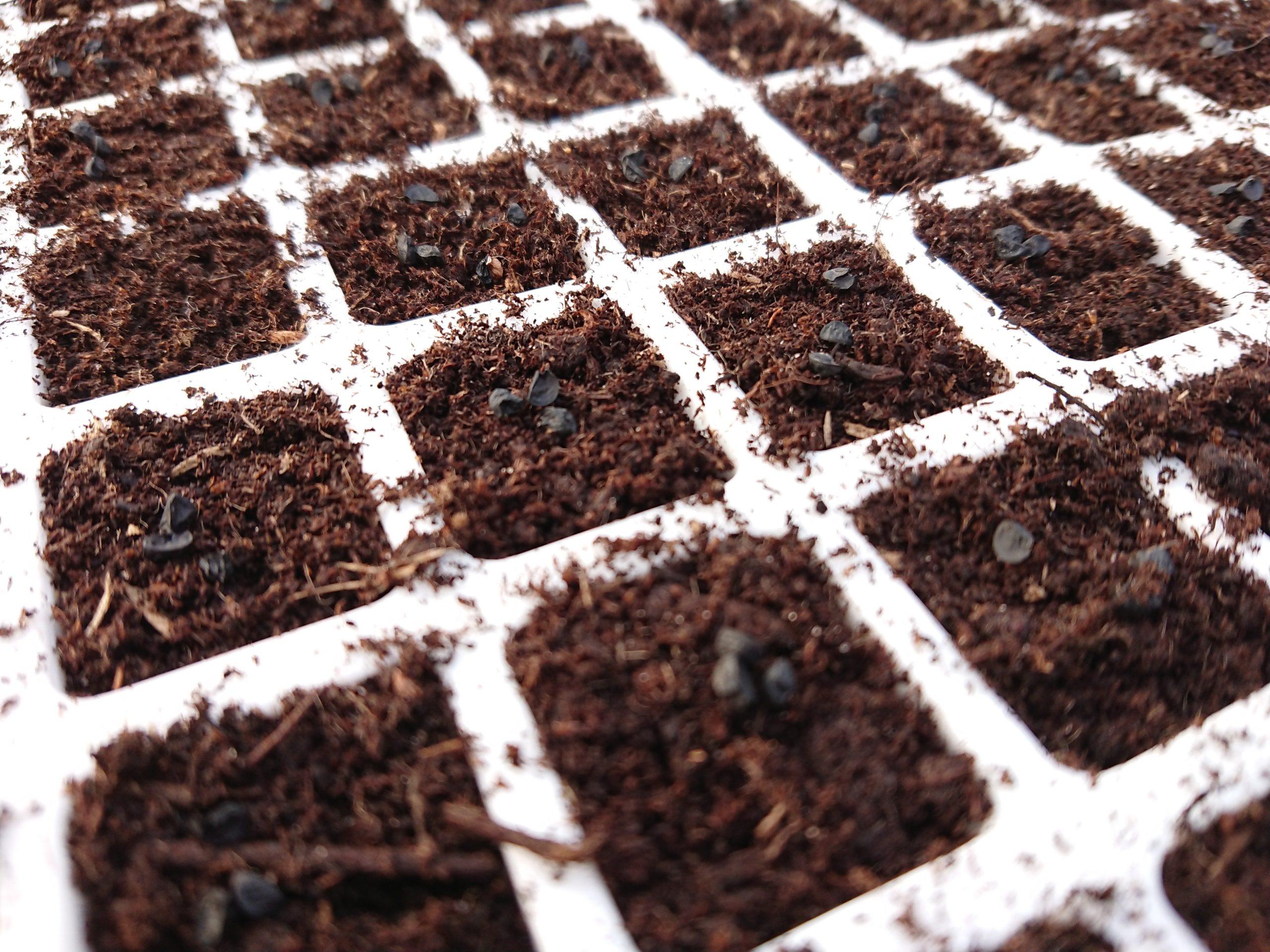 Des petites graines noires dans des alvéoles en gros plan