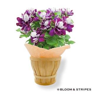 ブルーム&ストライプス,クレマチス鉢植え,新紫玉,BLOOM & STRIPES,母の日,2020,
