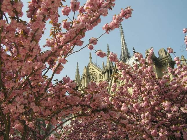 cerisier @ Cathédrale Notre-Dame de Paris