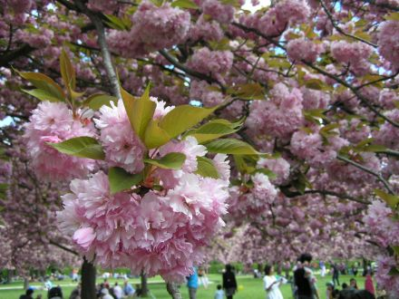 cerisier rose @ parc de sceaux