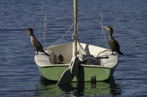 cormorans posés sur un dériveur