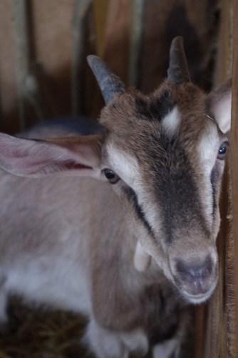 chèvres marçay (4)