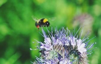 abeille bourdon pollinisateur phacelie 2