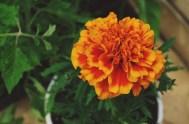 oeillet fleur orange