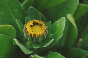 soucis fleur bourgeon