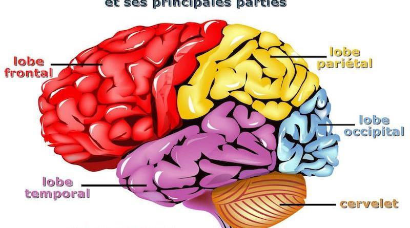 Notre cerveau serait élastique !