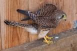 Faucon crécerelle - Falco tinnunculus (CDS - Domaine des Oiseaux, Ariège)