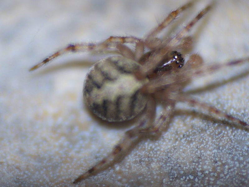Theridion sp.