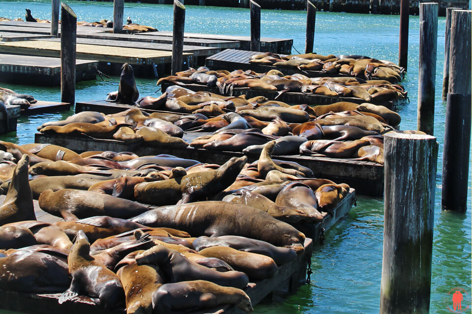 Otaries Pier 39 Visiter San Francisco