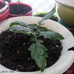 PropagatedTomatoBranch-2016 (This Greenhousey Thing Might Be Panning Out…)