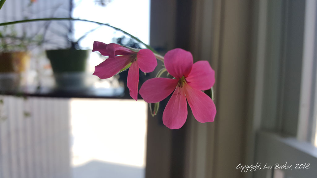 Blooming Ivy Geranium…
