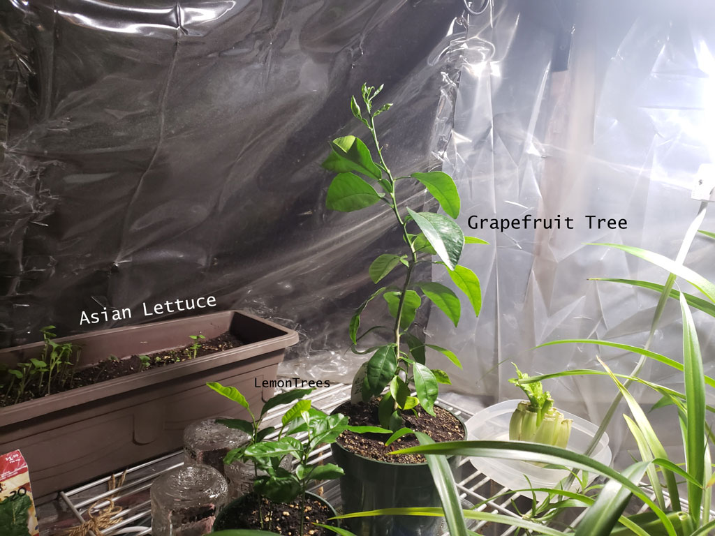 Interior of winter greenhouse with asian lettuce, grapruit and lemon trees growing in pots.