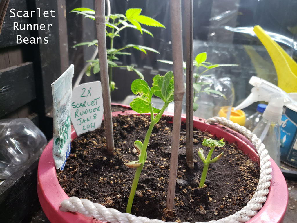 Scarlet Runner Bean plants sprouting in a red garden pot