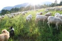 Brebis préalpes et chiens de berger
