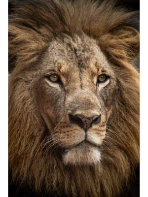 10. Superbe portrait d'un lion, sa magnifique crinière et son regard intense impose le respect et l'admiration du roi de la jungle. Idéal pour la décoration d'un salon ou d'une chambre, pour un intérieur zen et nature.