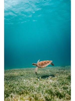 16. Nage d'une magnifique tortue dans les eaux bleues turquoises d'une mer calme. Idéal pour la décoration d'un salon ou d'une chambre, pour un intérieur zen et nature.