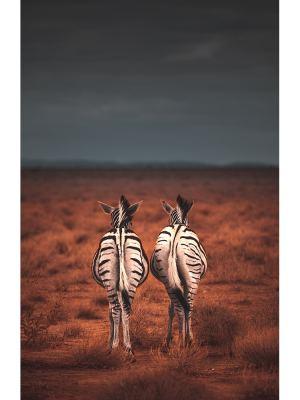 Balade de deux zèbres en plein milieu de la savane attendant l'orage qui arrive au loin. Zèbres prit de dos se détachants des herbes marrons et du ciel noir.