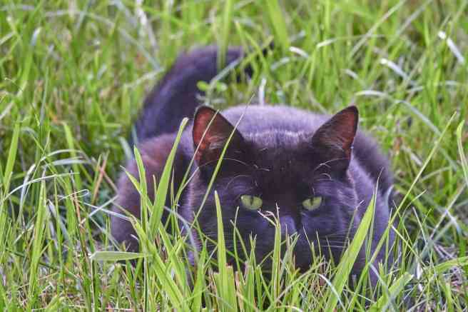 Chat chasse