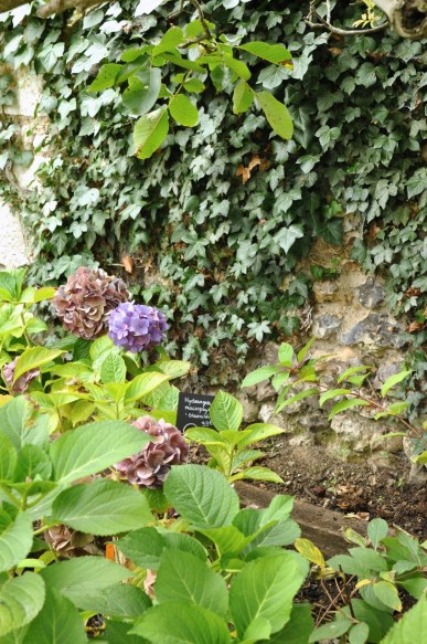 Hortensias violets