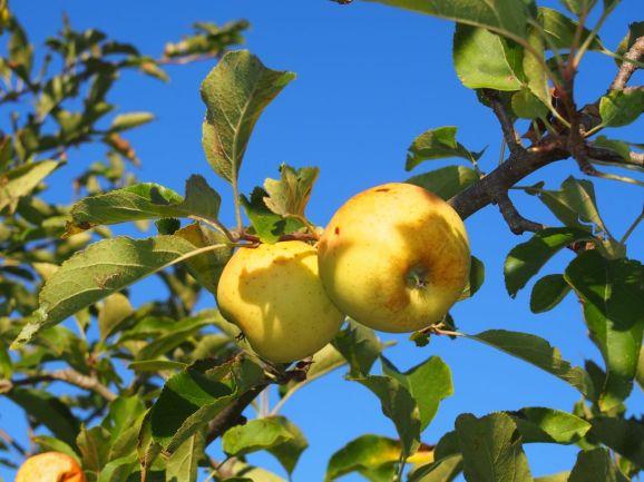 Des pommes, des poires et ... c'est la saison !