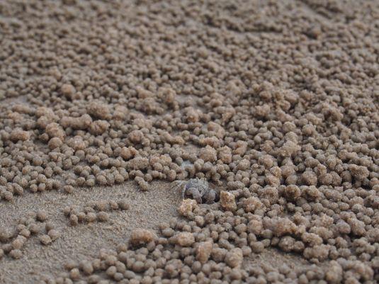 Crabes faisant des boulettes de sables