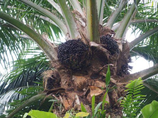 Fruits du palmier à huile